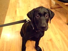 Puppy Dog (ebygomm) Tags: dog coal blacklabrador