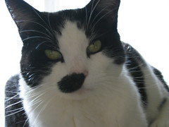 Percy Cat (John Topley) Tags: cats animals percy
