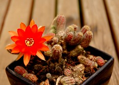finally i see the flower (michenv) Tags: cactus orange flower nikon d70 balcony michelle australia nikondigital albury michenv bbqtable