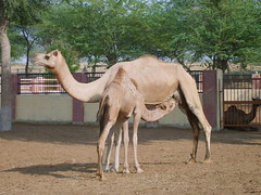 Camel Research And Breeding Farm in Bikaner (B.Rai) Tags: india camel bikaner rajesthan idiscoverindia