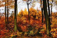 Chiltern Autumn (algo) Tags: autumn england leaves woodland photography topf50 bravo colours searchthebest topv1111 chilterns topv999 topv5555 algo larch topv3333 topf100 beech 100f halton 5555 outstandingshots 25faves 61116 5555v 91120