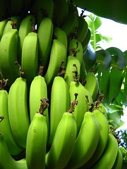 "bananas • <a style=""font-size:0.8em;"" href=""http://www.flickr.com/photos/70272381@N00/299106413/"" target=""_blank"">View on Flickr</a>"