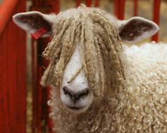 Rasta Ram (Boered) Tags: interestingness bravo sheep kentucky louisville rasta bobmarley wensleydale specanimal abigfave northamericaninternationallivestockexposition 3onexplore112006 decoratedanimal