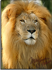 The Lion King (MikeJonesPhoto) Tags: nature animal landscape zoo bravo searchthebest florida wildlife lion scenic naples professionalphotographer supershot animalkingdomelite mywinners platinumphoto anawesomeshot mikejonesphoto colorphotoaward impressedbeauty aplusphoto megashot theperfectphotographer goldwildlife goldstaraward itsazoooutthere azofdigitalediting