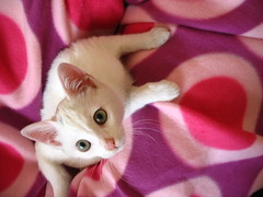 Pamuk (Marchnwe) Tags: pink white cute love cat kitten