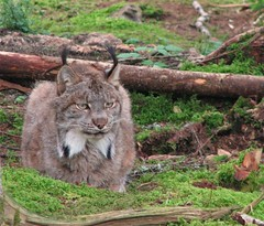 Lynx (dacardoso) Tags: animal newfoundland lynx