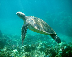 Honu (jurvetson) Tags: ocean thanksgiving sea topf25 swim hawaii turtle maui snorkeling creativecommons waimea visitation marinebiology honu biology maverick zoology herpetology ilovetodream firsttheearth