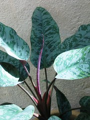 A beautiful variegation of an unknown Aglaonema hybrid, in our garden