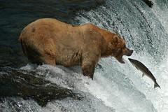 Good Catch! (Dave Schreier) Tags: bear camp alaska waterfall bravo quality salmon grizzly brooks magicdonkey instantfave specnature specanimal animalkingdomelite akimageoftheday abigfave impressedbeauty superaplus aplusphoto flickrplatinum