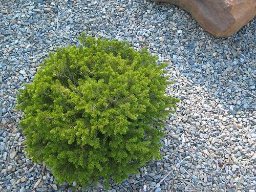 image Cryptomeria japonica
