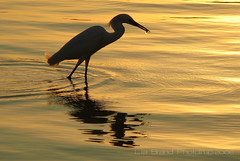ahoy an aperitif in the sunset... great egret from singapore (bocavermelha-l.b.) Tags: bird singapore greategret sundowner sungeibuloh sbwr egrettaalba insingapore casmerodiusalbus wildlifephotography ardeaalbaegretta garabrancagrande gottafish wildlifesoutheastasia  foundinsungeibulohnaturepark shootingwithcanonpowershots2is firsttheearth fishingegret