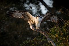 Preacher (gseloff) Tags: osprey bird wildlife wingspan mudlake armandbayou pasadena texas kayakphotography gseloff