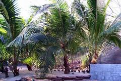 Coconut Plants (obajull39) Tags: plants coconut spot lizard land tropics sandbank humid teletubby biomes
