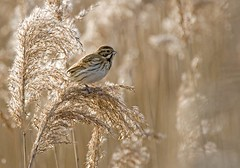 Reed Bunting in reeds (graspnext) Tags: bird reed british bunting animalkingdomelite abigfave supremeanimalphoto impressedbeauty