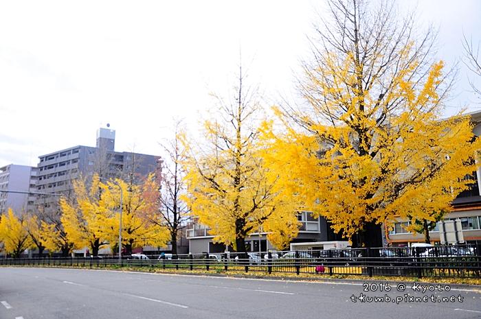 2016堀川通銀杏 (13).JPG