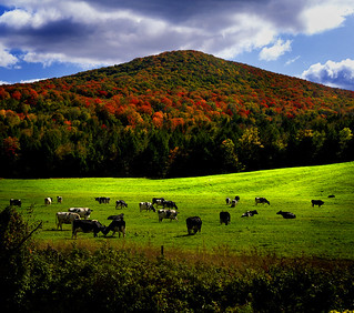 vermont cows having fun