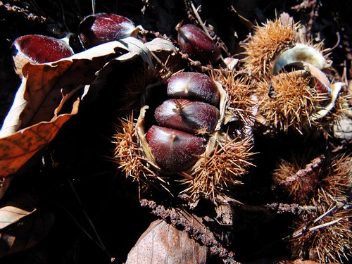 chestnuts, and I found them