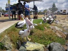 Pelicans (jkpm30) Tags: australia pelican portmacquarie
