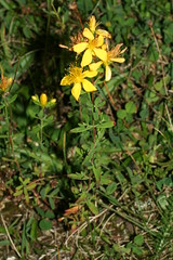 1276057029 St_John's-wort 2007-08-29_19:20:19 Greenham_Common