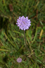 1276787550 Devil's-bit_Scabious 2007-08-29_18:41:48 Greenham_Common