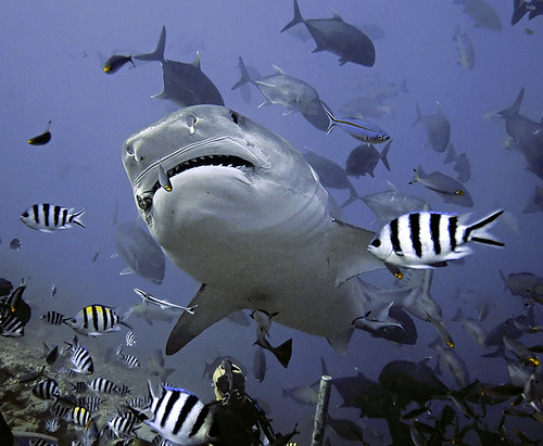 Tiger Shark in Beqa Lagoon, Fiji