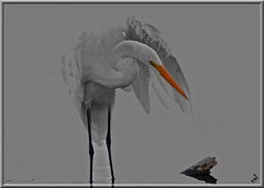 (nal from miami) Tags: nature birds 1025fav pair egret selectivecolorization 123f10 nalfrommiami aplusphoto noraariasloftis