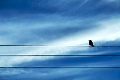 Hitchcock on the High Wire (Tom Q) Tags: blue bird silhouette clouds one evening wire saveme deleteme10 fv5 bermuda hitchcock d200 spanishpoint kiskadee abigfave takenjustoutsidemyhouse