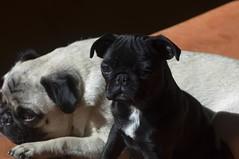 the girls in the sun for yottabite (cmacphotography) Tags: california dogs d2x 2006 marincounty pugs jellybean liqorish