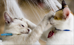You Scratch Mine (Domain Barnyard) Tags: cats playing fun furry october feline action kittens 2006 felines furryfriday playful scratching tingey domainbarnyard