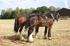 Plough to Propeller 1 October 06-58 (Martin Pettitt) Tags: horses fields punch shire heavy ploughing rougham