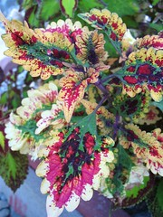Coleus 'Burnt Sienna'