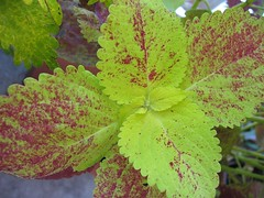 Coleus 'Alabama Sunset' (Green Leaves)