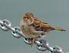 Tentative (ozoni11) Tags: bird nature birds animal animals chains nikon wildlife feathers chain sparrow d200 sparrows featheryfriday interestingness379 i500 animaladdiction specanimal