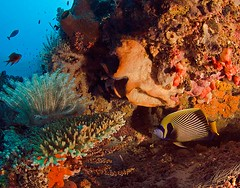 reef0597pw (gerb) Tags: beautiful topv111 coral indonesia topv333 underwater scuba loveit d200 reef sponge angelfish tvp bunaken pfo photofaceoffwinner pfogold
