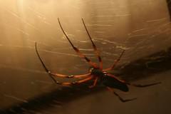 Spider (tomcat0008) Tags: animal spider spinne tier wilhelma hayvan rmcek orumcek