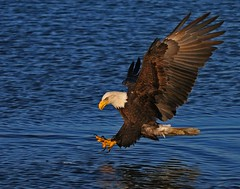 Getting Close (Doug Lloyd) Tags: bird birds alaska bravo searchthebest eagle baldeagle americanbaldeagle specanimal