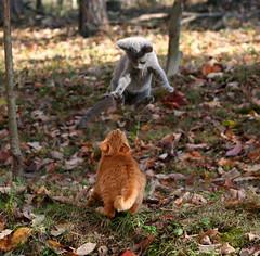 Crouching Tiger Flying Kitten (Boered) Tags: playing cat flying kitten kungfu fighting pounce jinx cc300 cc500 cc1000 animaladdiction minimilo abigfave imsogladthatjinxandminimilohavebecomefriendsiknowminimilohasbeenlonelysincehisbrothersiampassedaway ccc70