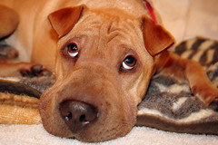 that look (lucy96734) Tags: dog it spike worked sharpei humanesociety helluva thatface i500 interestingness06 utatafeature 30faves30comments300views impressedbeauty dogexpressionsfave