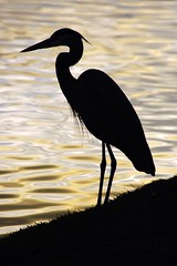 Heron Silhouette (sunsurfr) Tags: bird animal silhouette d70 alabama explore nikonstunninggallery sunsurfr