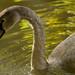 Dirty Swan