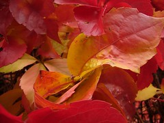 Parthenocissus 1 (richaruto) Tags: autumn red color leaves parthenocissus