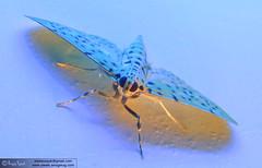 Neon Moth (Awais Yaqub) Tags: blue pakistan light reflection art home wow insect wings asia neon legs moth nat stockphotos stunning geo ppo islamabad scoopt wwwawaissmugmugcom wwwawaisyaqubcom pakistaniphotographersorganization ppomember