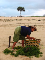 bali - seaweed farmer (adlaw) Tags: morning travel bali woman seaweed beach work indonesia sand asia southeastasia hard farmer nusadua cottonii sacol kappaphycusalverezii