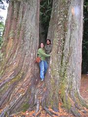 IMG_3457 (Amanda J G) Tags: tree washington big ceder