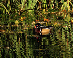 Reflective Wood Duck (walla2chick) Tags: reflection water woodduck pioneerpark nomore1word
