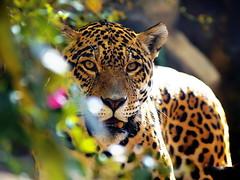 Leopard !!!! (*atrium09) Tags: travel portrait eye nature topf25 animal animals topv111 leopardo eyes topf50 topv555 topf75 bravo feline pattern dof faces quality venezuela topv1111 topv999 olympus leopard 500v50f felino straight naturesfinest e330 threeofakind topvaa magicdonkey specanimal atrium09 fivestarsgallery animalkingdomelite challengeyouwinner rmmj abigfave bonzag shieldofexcellence flickrchallengegroup flickrchallengewinner rubenseabra theroadtoheaven world100f