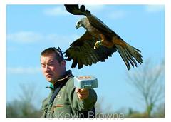 Black Kite feeding time 1 print (kbrowne) Tags: kite bird flying eagle hawk african wildlife flight baldeagle bald conservation american raptor owl vulture falconry