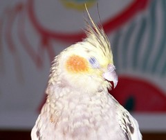 No more flash PLEASE! (makeupanid) Tags: crazy loki cockatiel karma petbird cockatiels mybird piedpearl commentonmycuteness theworldthroughmyeyes animaladdiction nomoreflashplease