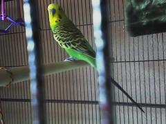 Captain Jack (perruche_verte) Tags: pets budgie parakeet