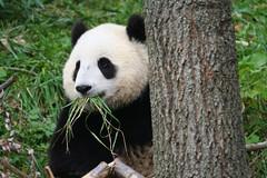 Tai grew a green mustache (somesai) Tags: animal animals smithsonian panda endangered giantpanda pandas taishan butterstick